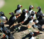 The Westman Islands have the highest proportion of nesting puffins in the world.