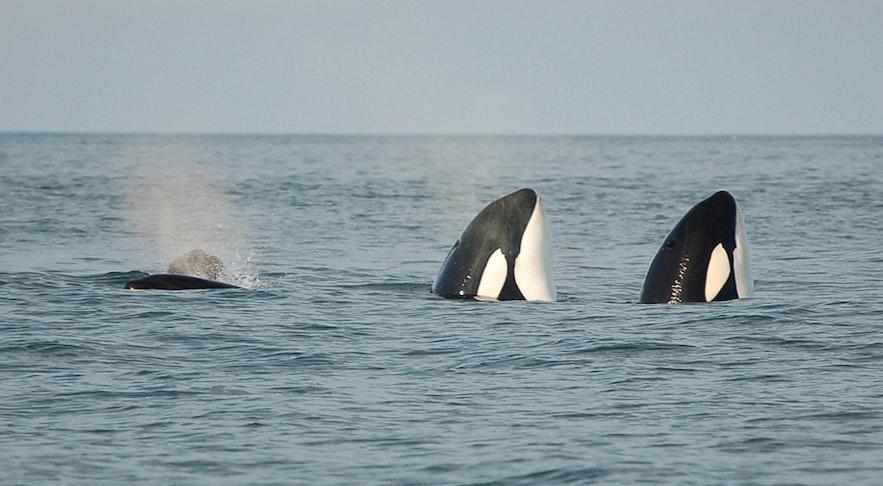 西人岛海域的虎鲸