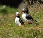 夏には多くのパフィンがウェストマン諸島に営巣する