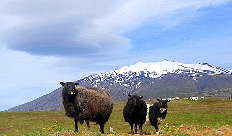 Sheep at Hellnar - Snæfellsjökull in the background
