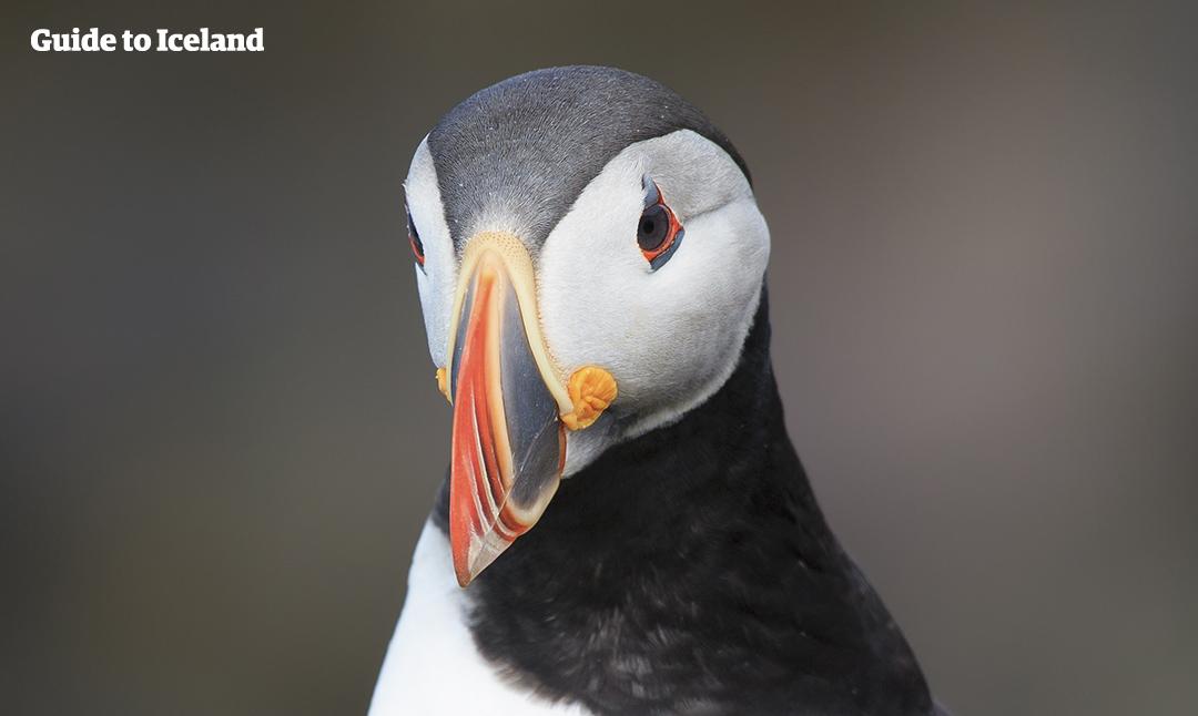 アイスランドの海岸沿いで見られる渡り鳥のパフィン