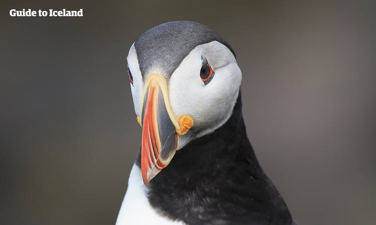 Puffins shed the colourful part of their bill once breeding season has come to an end.