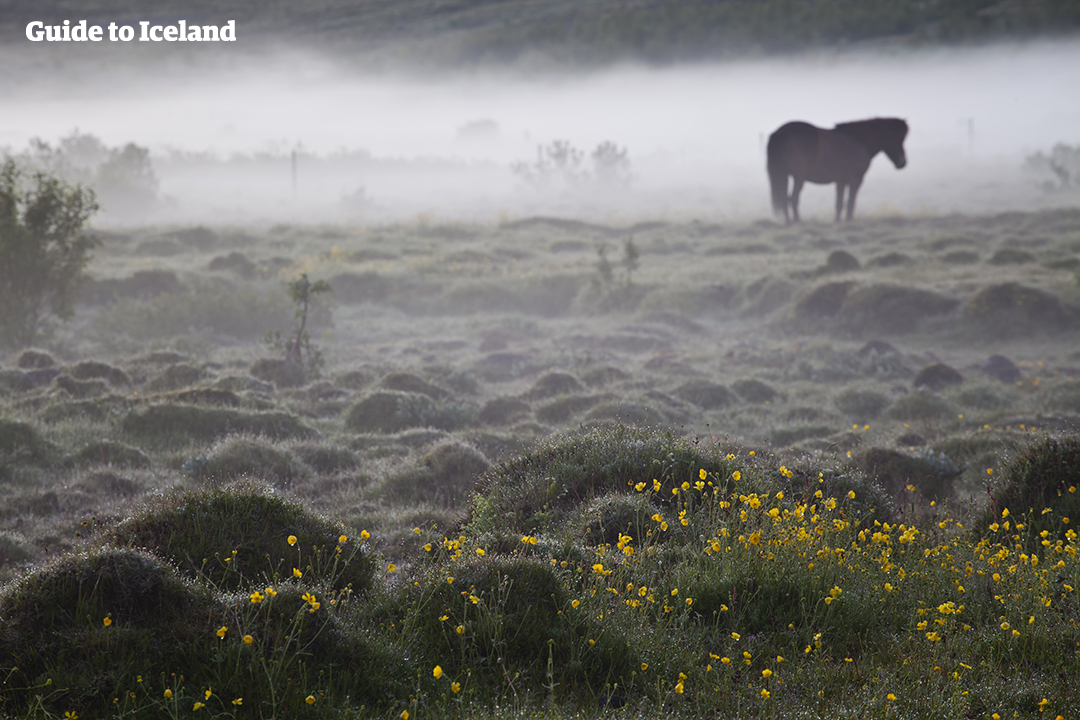 An Icelandic horse grazes in Iceland, in a field of wildflowers under a blanket of mist.