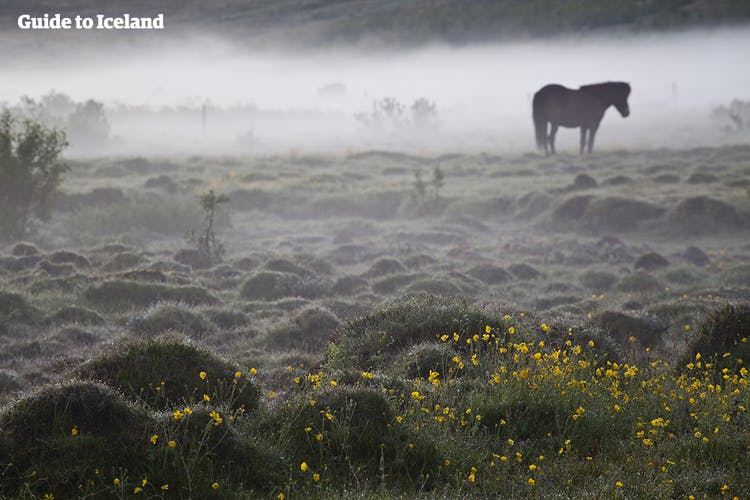 An Icelandic horse grazes in Iceland, in a field of wildflowers under a blanket of mist.