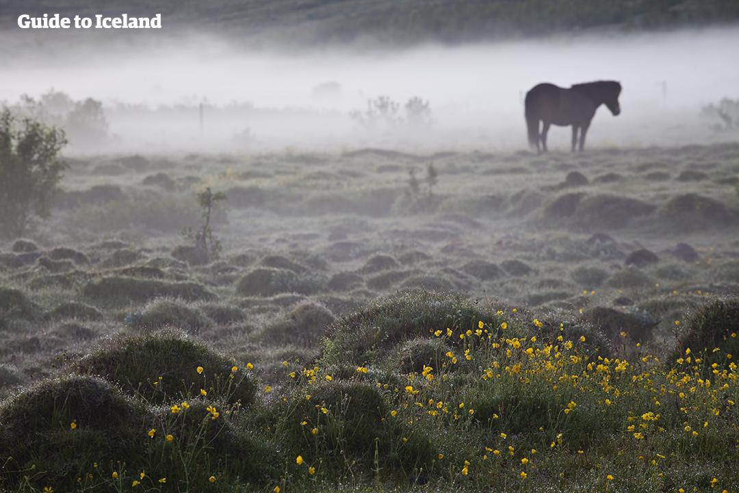 Un cheval islandais broute dans un champ de fleurs sauvages traversé par un nuage de brume.