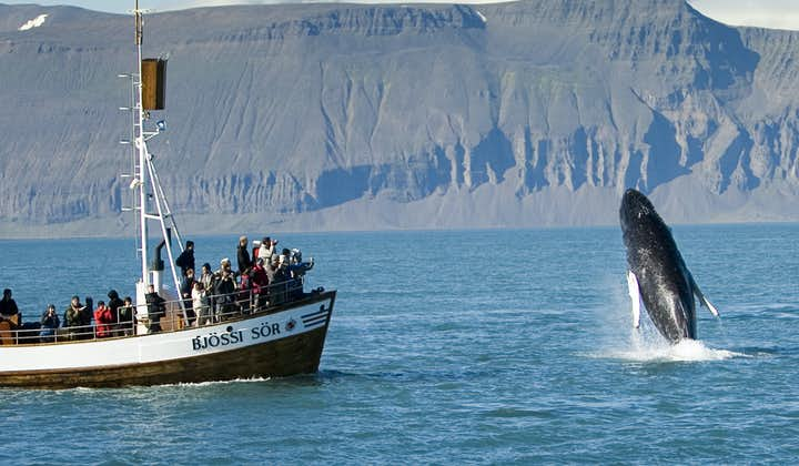 A humpback whale throwing itself out of the waters of Skjálfandi Bay by the town Húsavík.