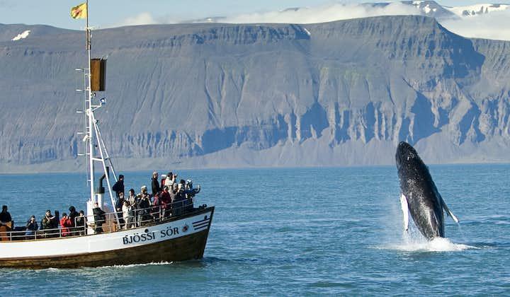 Original hvalsafari fra Húsavík | Karbonnøytral tur