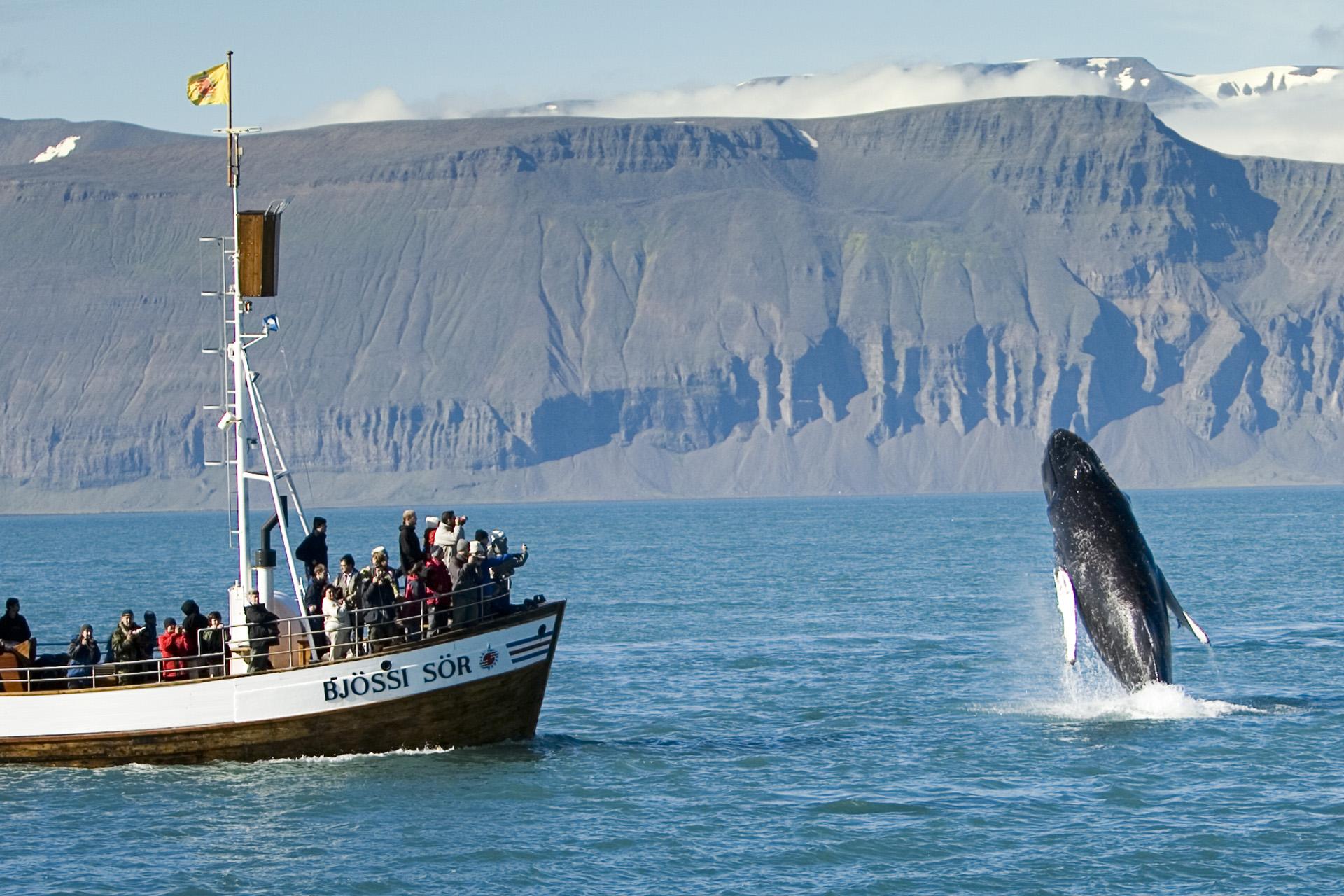 Una ballena jorobada sale fuera de las aguas de la bahía de Skjálfandi en el pueblo Húsavík.
