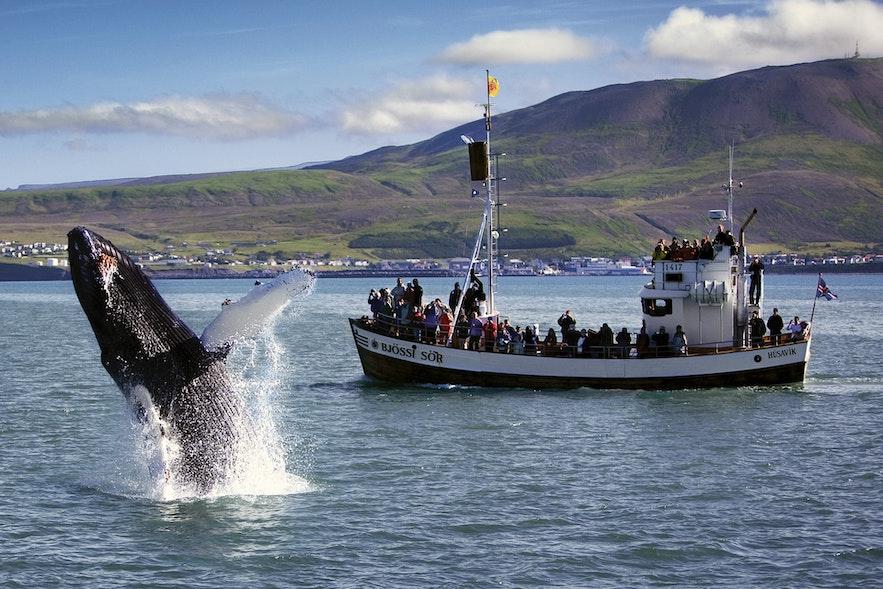 Walvissen spotten in Húsavík in Noord-IJsland