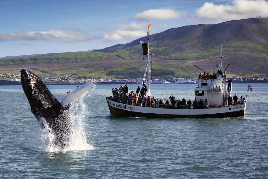 Whale watching in Húsavík in north Iceland