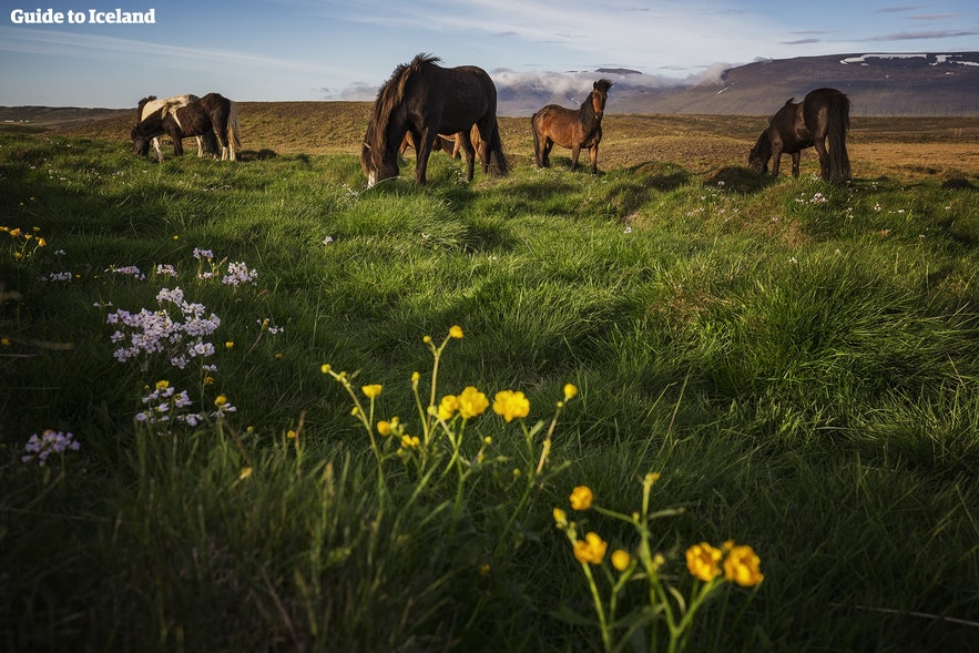 When camping in Iceland's countryside, visitors are sure to meet some of the friendly native horses