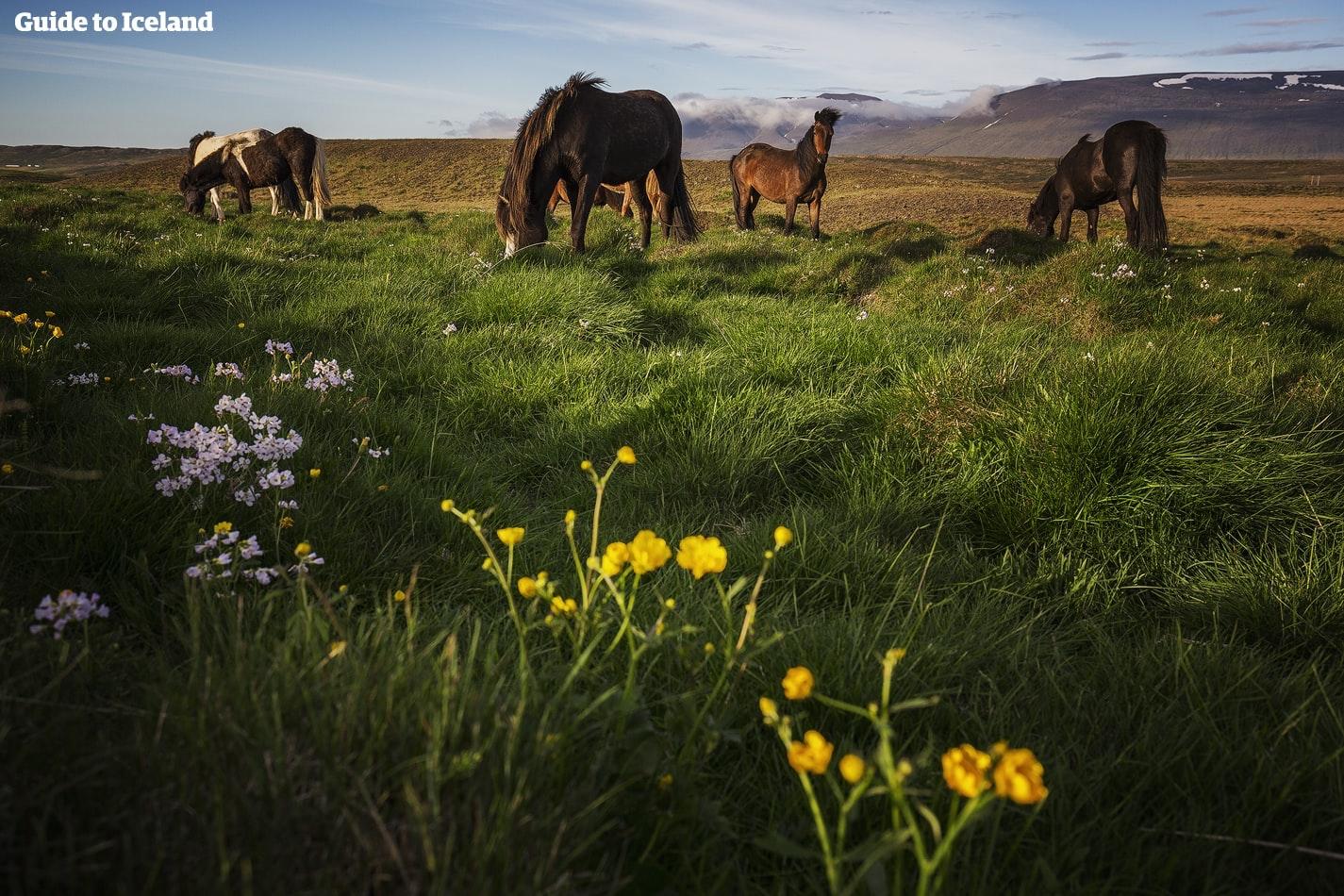 Bei deinem Campingtrip solltest du auch nicht die freundlichen Islandpferde verpassen