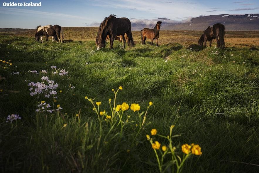 Konie niedaleko jednego z kempingów na islandzkiej wsi