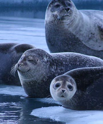 Seal Watching in Iceland