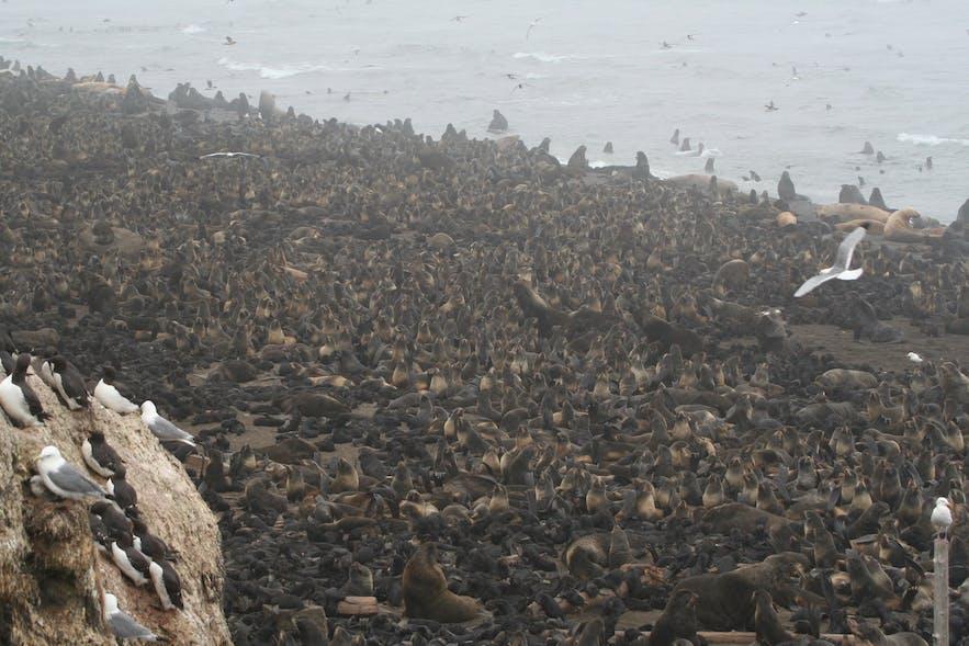 壮观无比的海豹群和海狮群