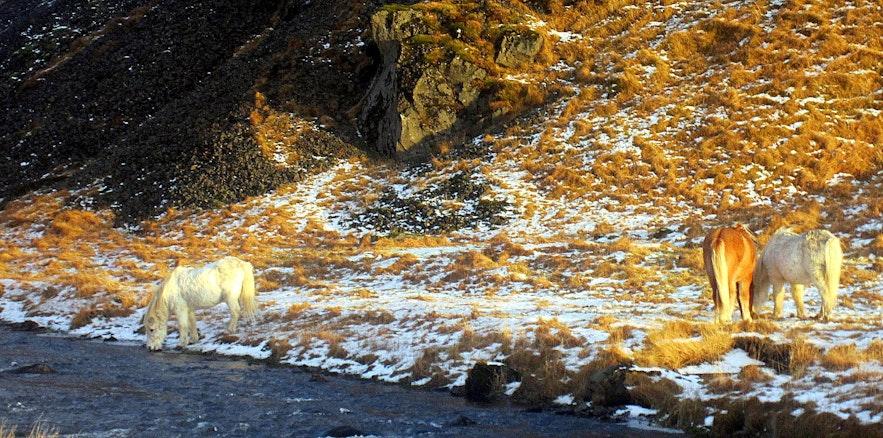 Icelandic horses by Kvernufoss