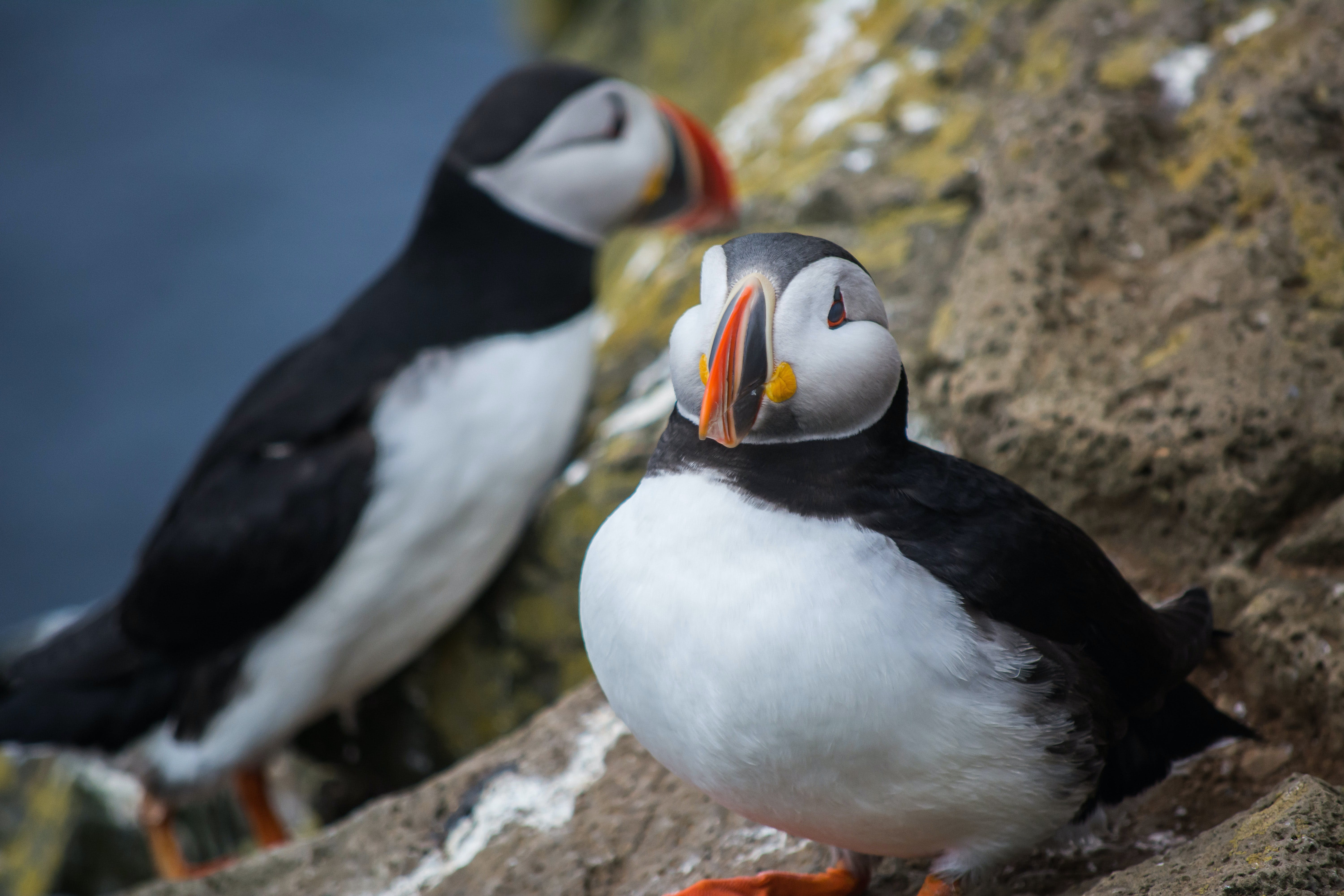 Day 8 of 3 week Iceland trip, fox and puffins