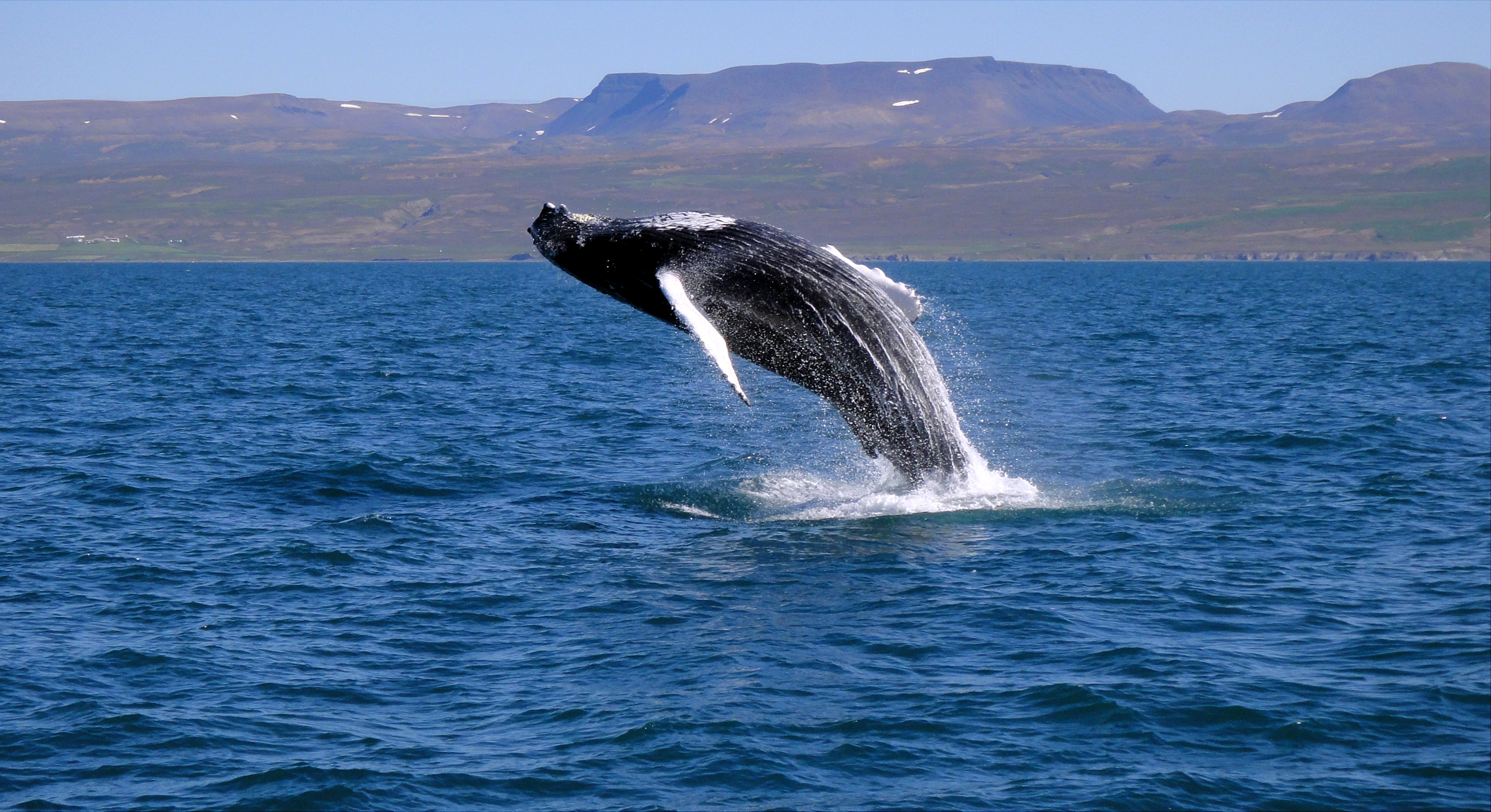 Whales regurarly breach the coastal waters around Iceland, creating stunning visual displays.