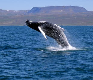 Whale Watching Tour Off Reykjavik's Faxafloi Bay