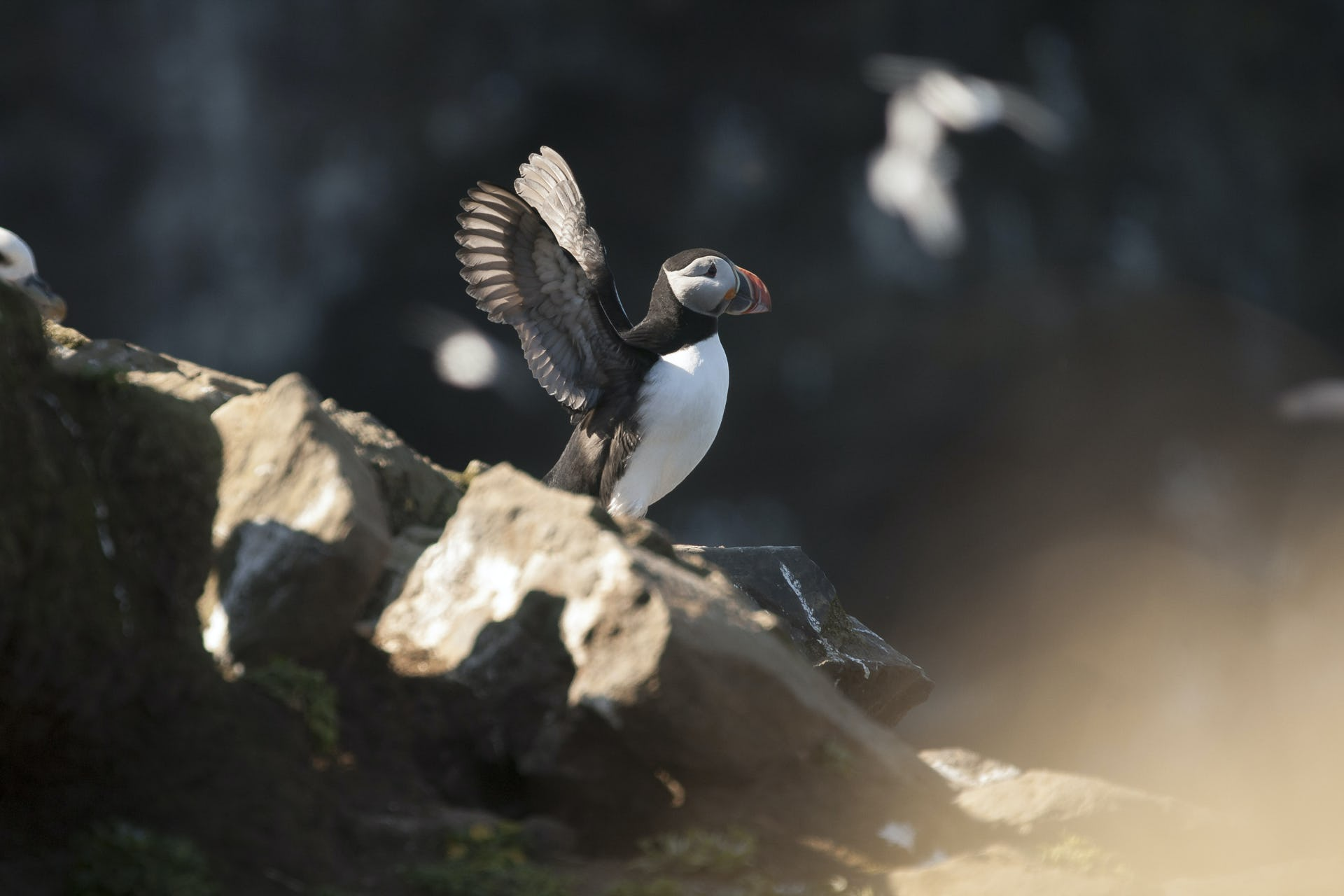 Puffins are one of the greatest attractions to see in North Iceland.
