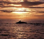 On the Húsavík Original Whale Watching tour you might see the great Killer Whale!
