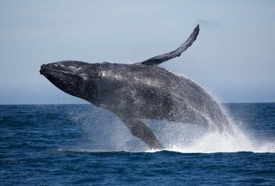 Authentic Whale Watching tour from Husavik