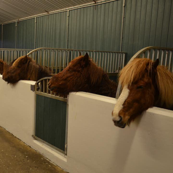 アイスランド人との深い関係を維持しているアイスランド馬