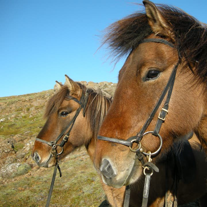 The Icelandic horse is known across the world for being a very friendly animal.