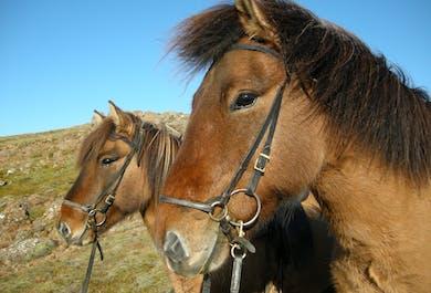 Meet the Icelandic Horse | 1-Hour Riding Tour