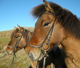 Meet the Icelandic Horse | 1-Hour Riding Tour