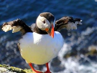 夏にアイスランドで営巣するパフィン、西フィヨルドにあるラゥトラビャルグは有名なパフィンウォッチングスポット
