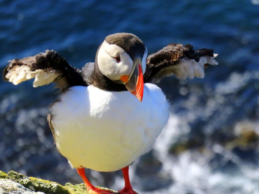 夏季时,海鹦在冰岛的西峡湾十分常见,尤其是拉特拉尔角(Látrabjarg)观鸟悬崖地区