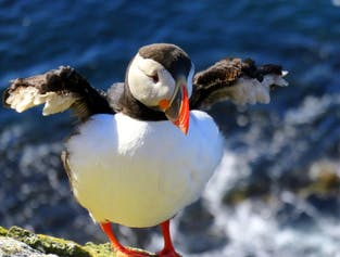 Puffins are a common sight in the Westfjords around summer, particularly around the Látrabjarg cliffs.