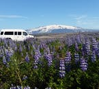 Driving past fields of lupine in the shadow of Hekla Volcano in Iceland.