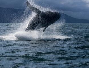 Reykjavik whale watching | Faxafloi bay