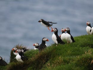 Puffin and Bird Watching from Reykjavik | Akurey and Lundey Islands