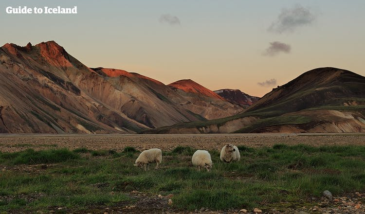 Throughout summer, Iceland's enormous sheep population is let loose to graze the verdant fields of the highlands.