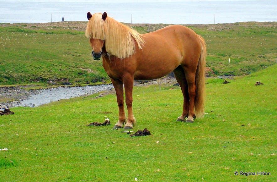 An Icelandic horse at Kverná farm Snæfellsnes pensinsua
