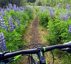 Prepare to pass fields of beautiful purple Lupin flowers on your biking journey.