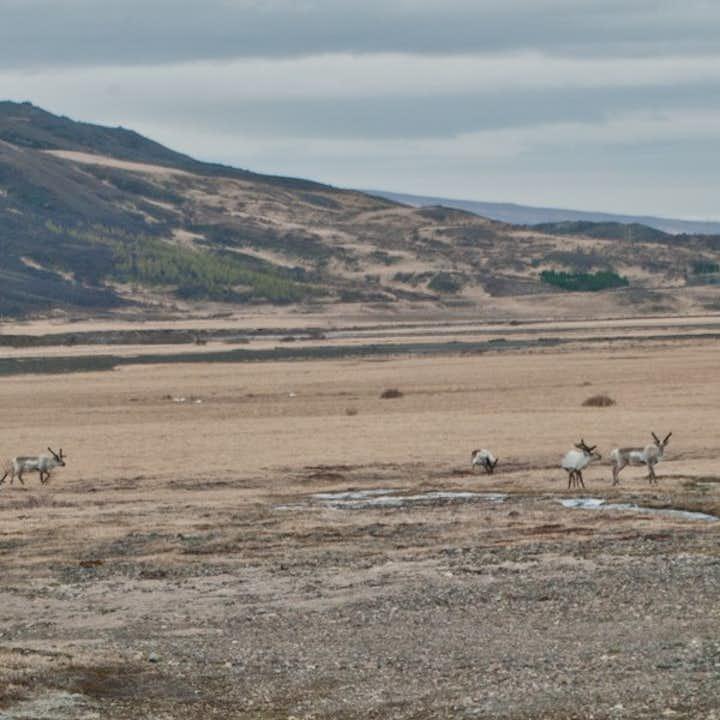 冰岛驯鹿追踪旅行团将会带您深入冰岛东部,巡防驯鹿们的家园