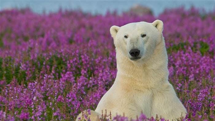 Polar bear relaxing in a flowery field in Iceland