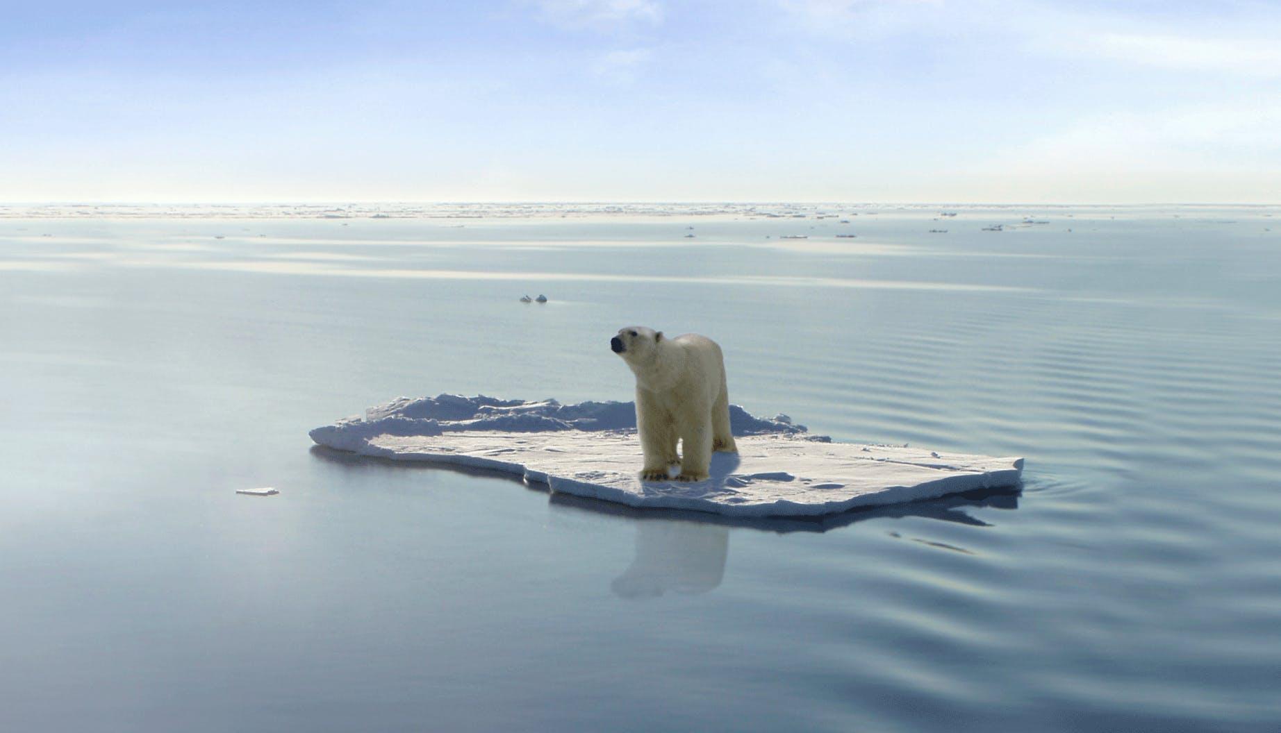 Polar bear on Jökulsárlón glacier lagoon