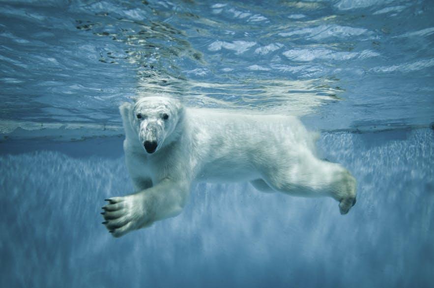Polar bear swimming to Iceland