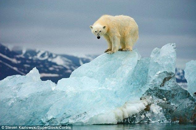 Icelandic polar bear in Jökulsárlón glacier lagoon