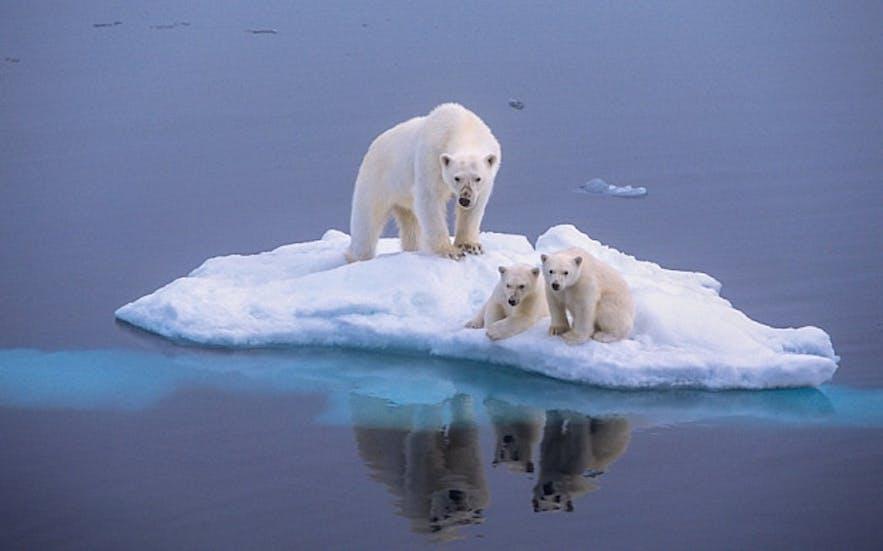 Polar bears in Iceland's Jökulsárlón glacier lagoon