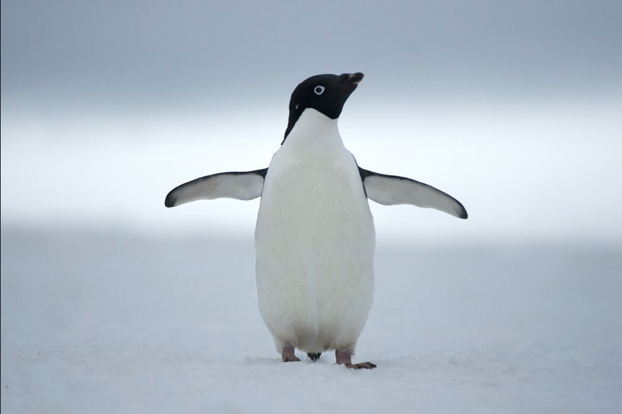 Cute penguin, not in Iceland