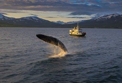 Whale Watching Tour from Akureyri