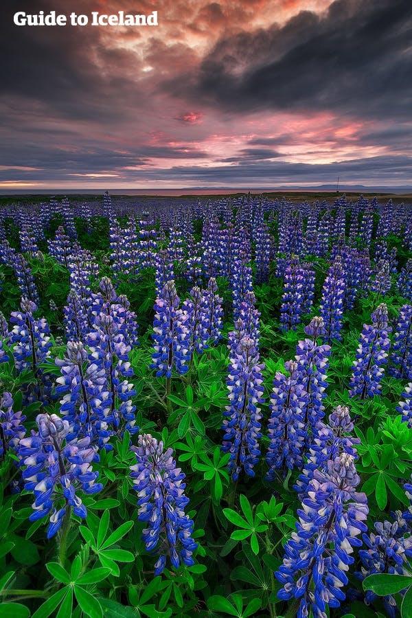 冰島 夏季花