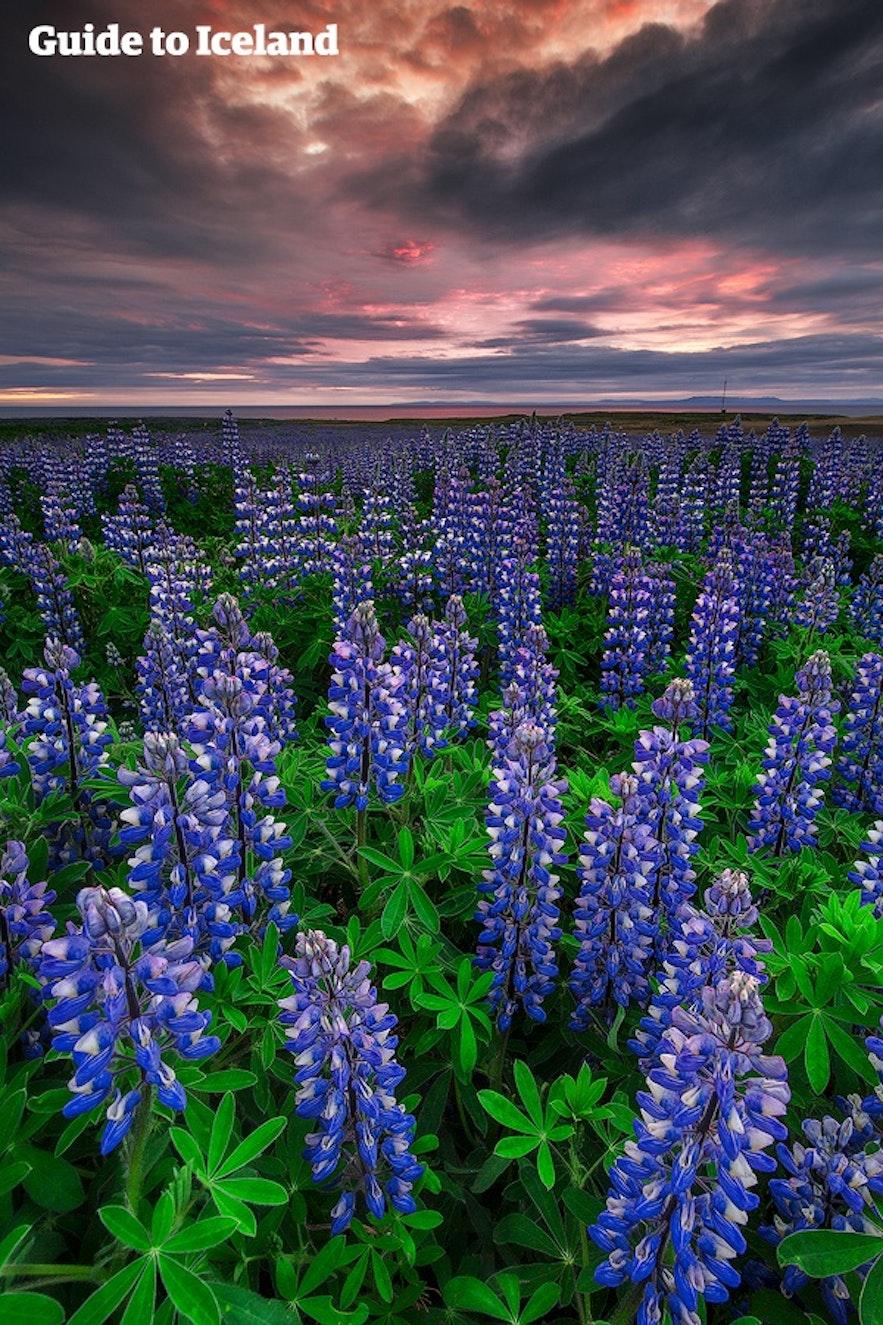 冰島夏季開滿魯冰花