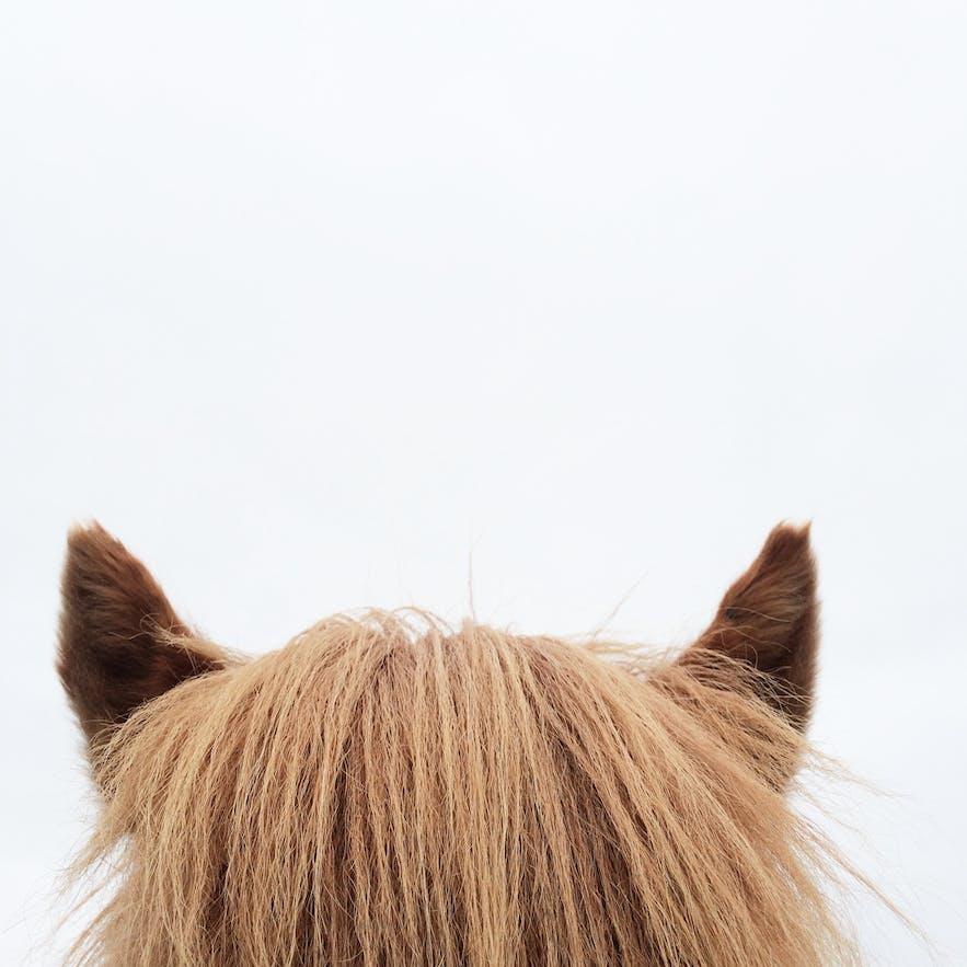 冰島馬可愛的耳朵